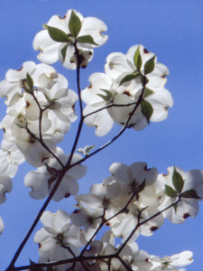 photo-natural-trees-dogwood03